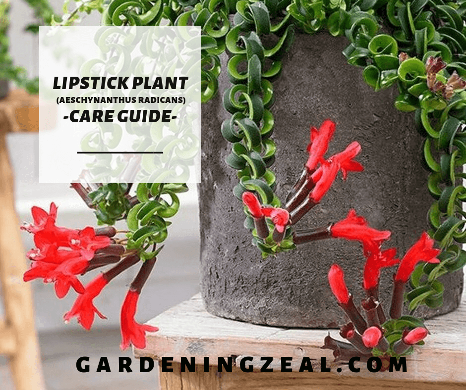 Lipstick Plant A Complete Lipstick Plant Care Guide 15 Best Care