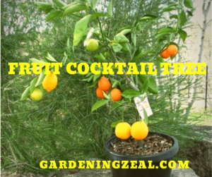 fruit cocktail tree