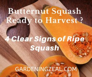 harvest butternut squash