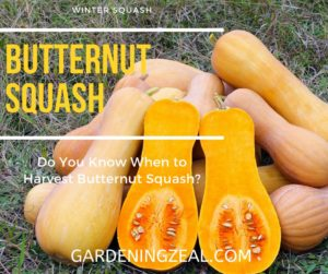 when to harvest butternut squash