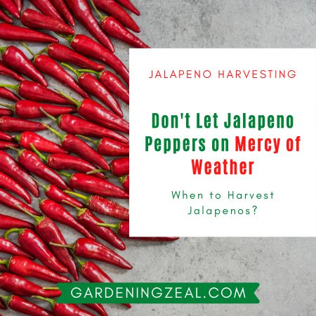when to harvest jalapenos